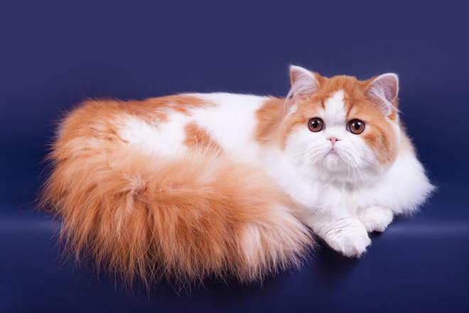 модные породы кошек, длинношерстный скоттиш-страйт