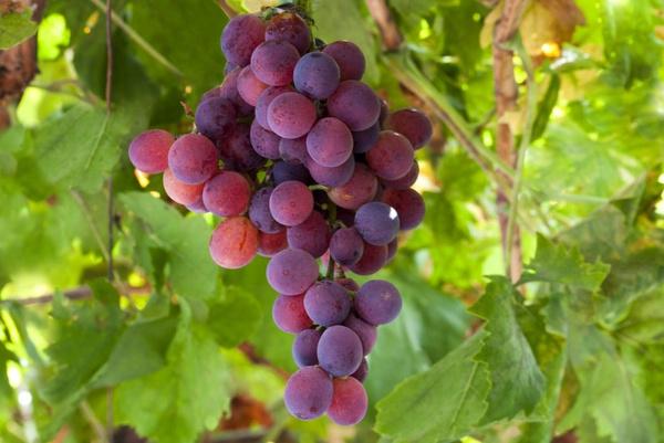 Запрет винограда лидия