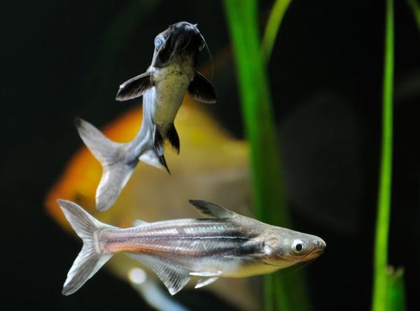 Акулий сом