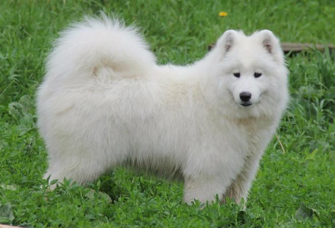 Собаки Тулы, Бэла