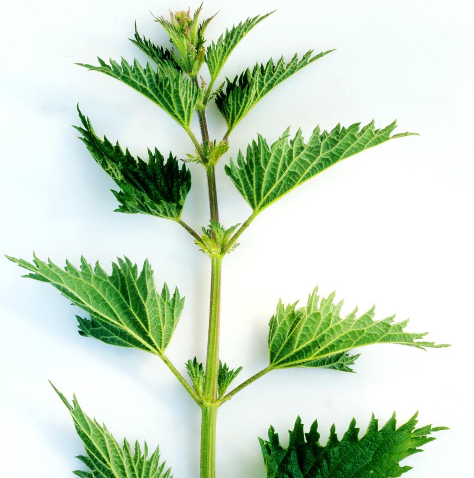 Самые полезные травы Крапива