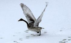 Одинокий лебедь-кликун поселился в Нургушском заповеднике