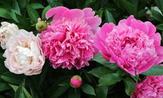 Выставка пионов и еще 3 события для любителей цветов