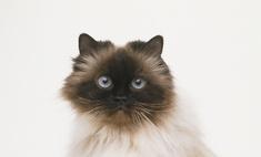 Внешность и характер гималайской кошки