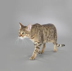 Описание кошек породы саванна