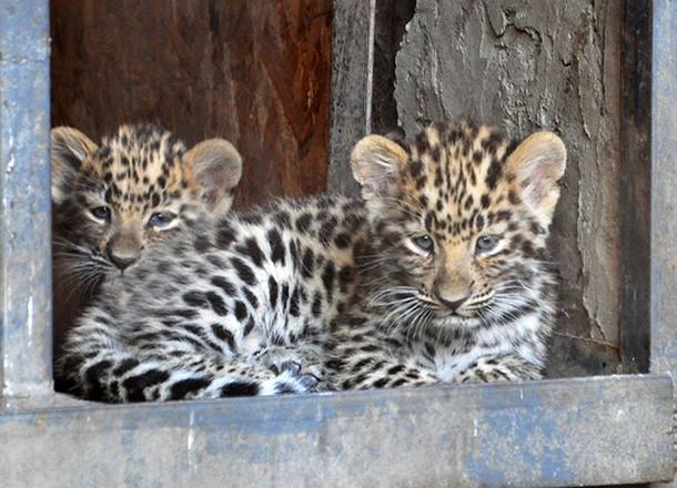 Котят редкого дальневосточного леопарда показали в ростовском зоопарке