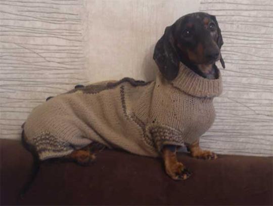 Мраморная такса, модная одежда для собак