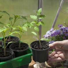 Весенние хлопоты: выращиваем помидорную рассаду