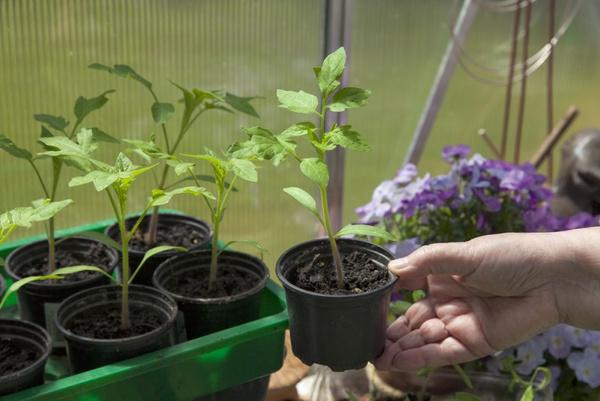 Вырастить рассаду