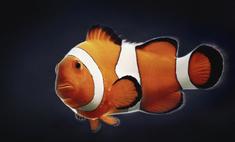 Условия содержания боции клоун и ее совместимость с другими рыбками