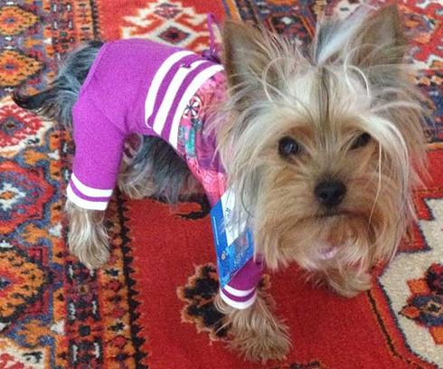Йоркширский терьер, модная собачка