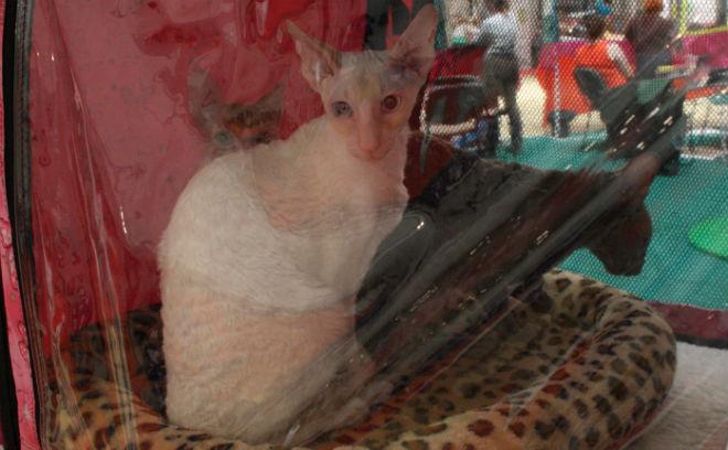 Выставка кошек Зоомагия 2015» Омск, Корниш рексы