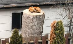 Девушка ведет трансляцию в «Твиттере» о заснувшей во дворе лисе (фото)