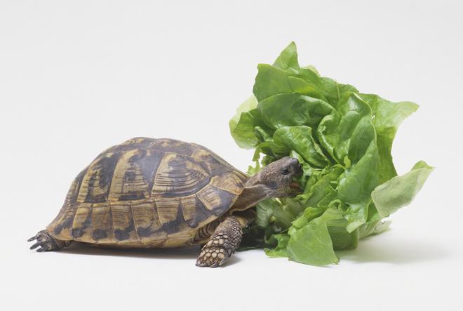 Домашние черепахи чем кормить