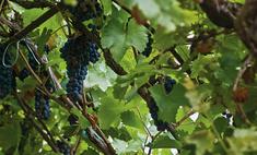 Подготовка к посадке: как размножить виноград?