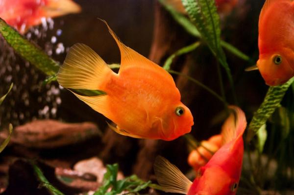 Содержание рыбы попугая