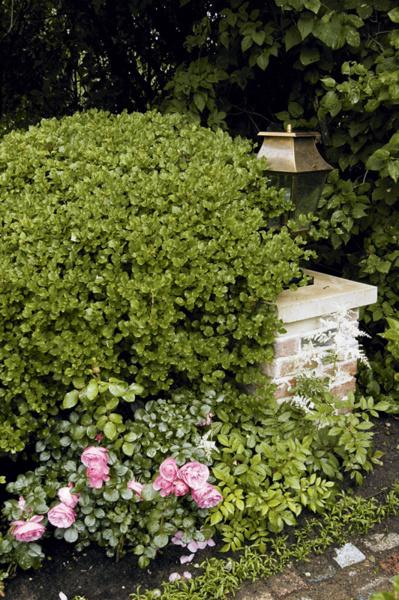 В саду растет около сорока сортов английских роз.