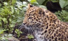 Смотрите, леопард! Сочинских хищников выпустят на волю