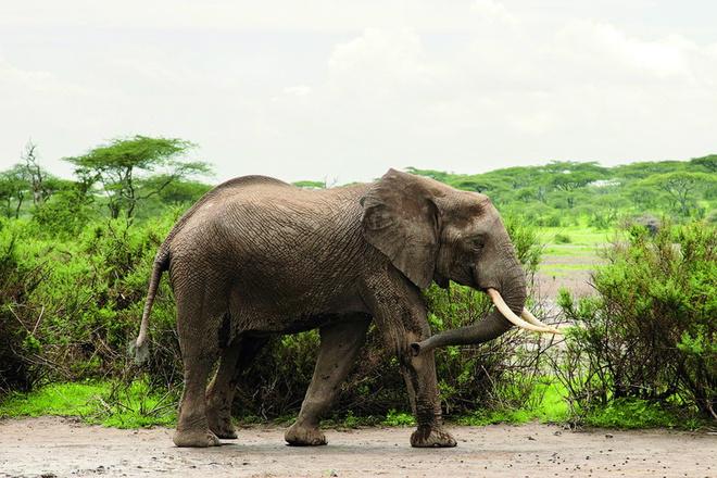 Сначала мы увидели его одного, но следом шло огромное стадо, не меньше 60 слонов!