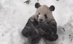 Панда в снегу стала хитом интернета