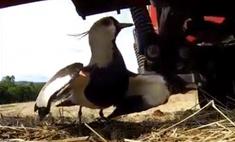 видео птице испугалась трактора бросила гнездо вирусным