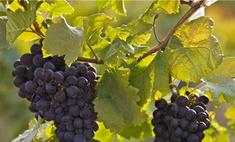 Вандалы срубили виноградную лозу стоимостью 100 тыс. евро
