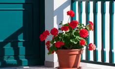 Правила обрезки домашних цветов