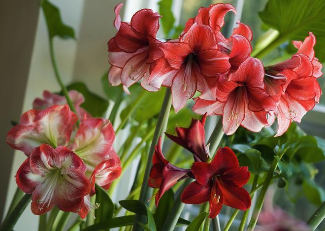 домашний цветок амариллис