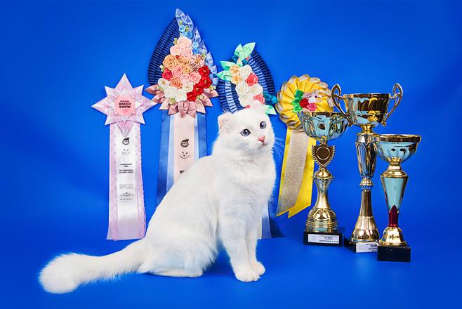 модные породы кошек, американский керл