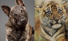 Собака приютила тигрят, когда от них отказалась родная мать