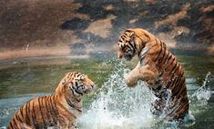 В Екатеринбурге объявлен конкурс на лучшую игрушку для тигров