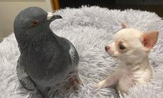 нью-йорке голубь герман подружился больным чихуахуа кадры выглядят