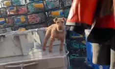 Собака демонстрирует чудеса устойчивости на корабле во время качки (видео)