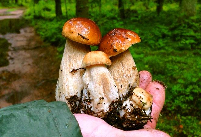 Белые грибы в Ленинградской области