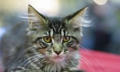 Умные кошки, которых принято называть домашними рысями.