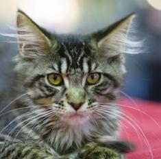 Умные кошки, которых принято называть домашними рысями