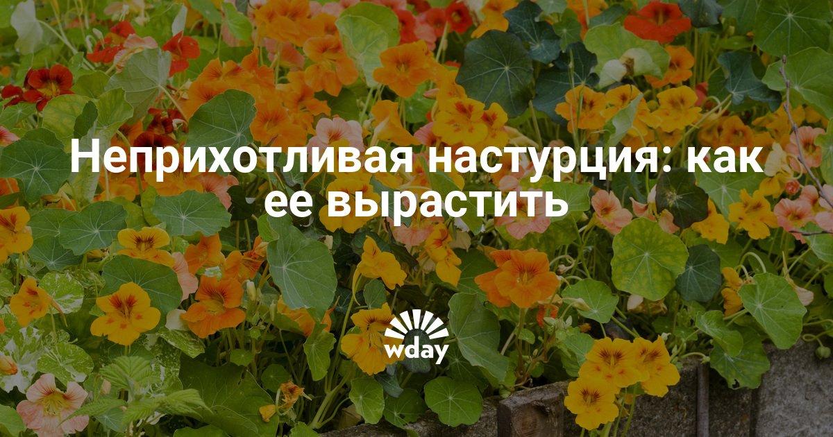 Настурция выращивание из семян в домашних условиях как