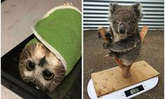смешных умильных фото животных время взвешивания