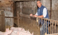 Правила и этапы разделки свиньи