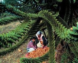 Ученые считают, что не все рощи араукарии чилийской (Araucaria Araucana) естественного происхождения. Семена этих деревьев местные индейцы широко употребляли и употребляют в пищу, поэтому они запросто могли стихийно «распространяться» вблизи старых индейских стоянок. «Пеуэны» — так называются шишки араукарии — собирают с февраля по май люди племени пеуэнче