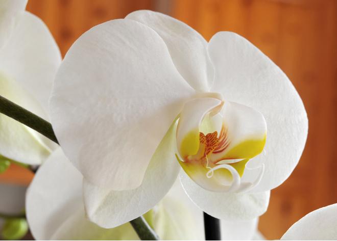 Фаленопсис белый плохо переносит низкие температуры