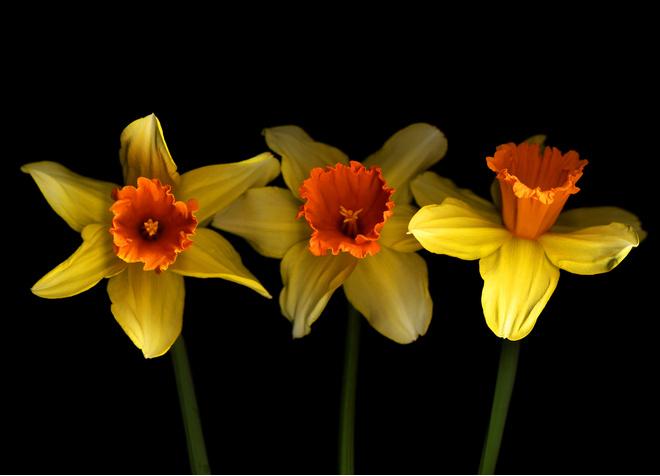 цветок нарцисс