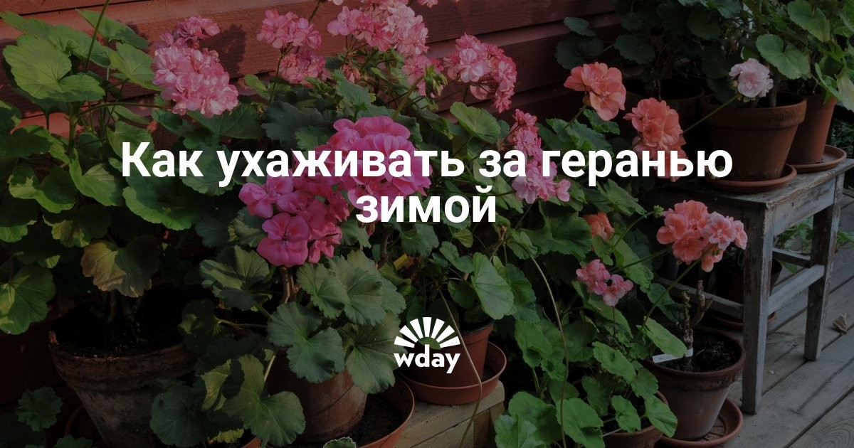 Уход за домашними цветами герань в домашних условиях 368