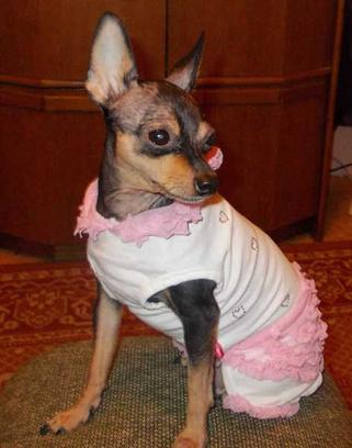 Тойтерьер, одежда для маленьких собачек