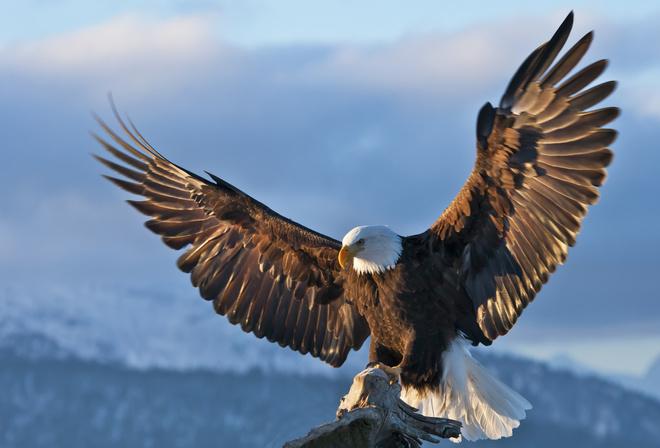 к чему снится орел