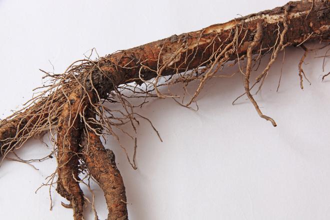 корни лопуха для волос