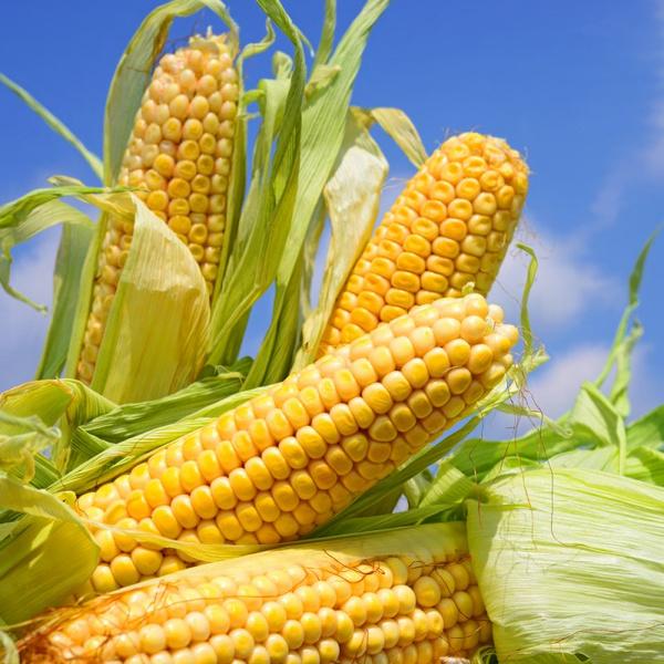 Кукуруза: лечебные свойства
