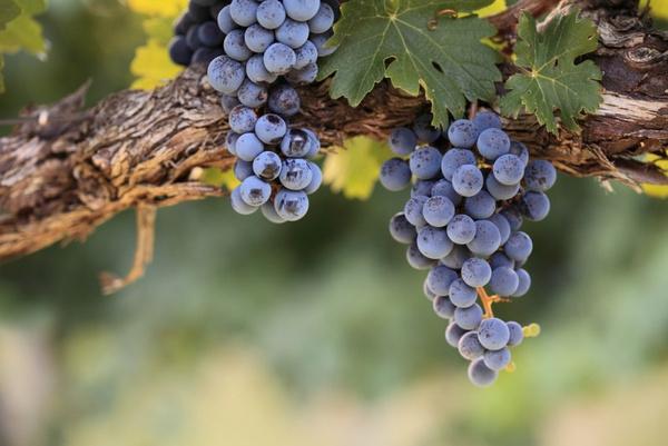 Запрет винограда изабелла
