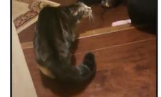 Смешная реакция кошки на хозяйку в костюме летучей мыши (видео)