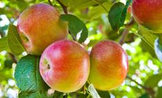 Яблоки – необходимый и полезный продукт для организма